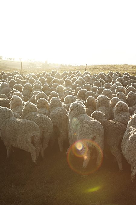 Aussie shearers Rob Palmer Photography